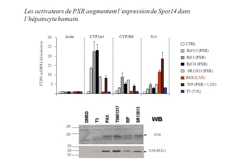 Les activateurs de PXR augmentent l'expression de Spot14 dans
