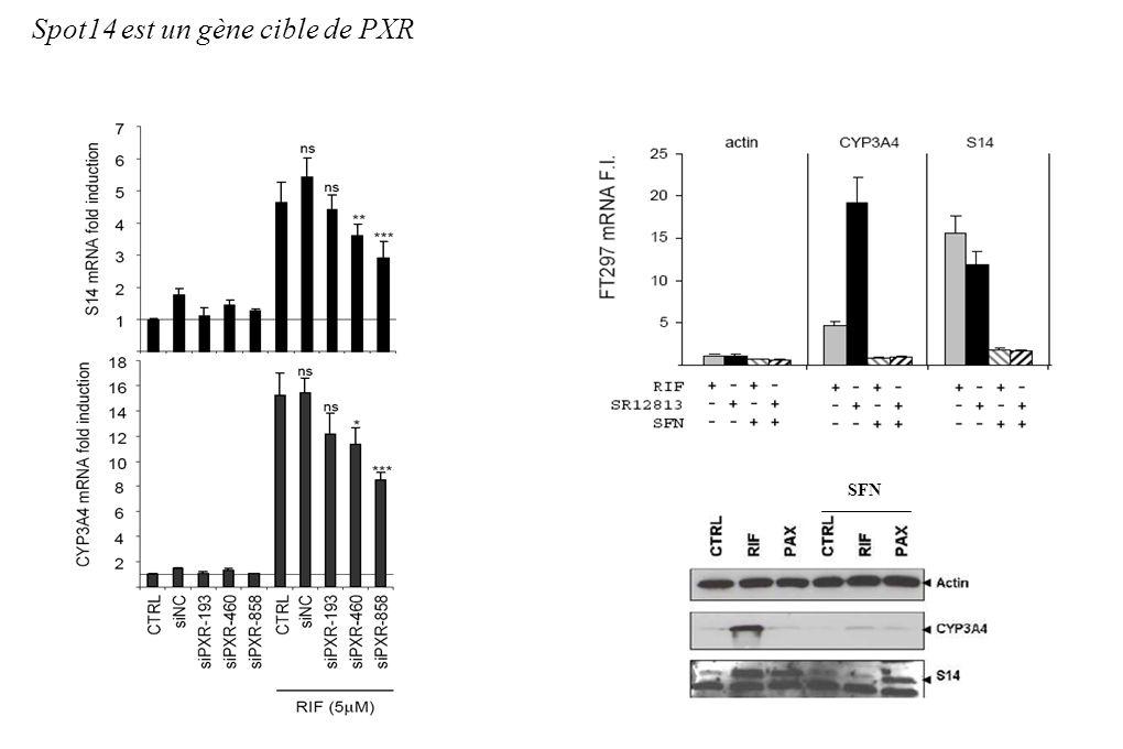 Spot14 est un gène cible de PXR