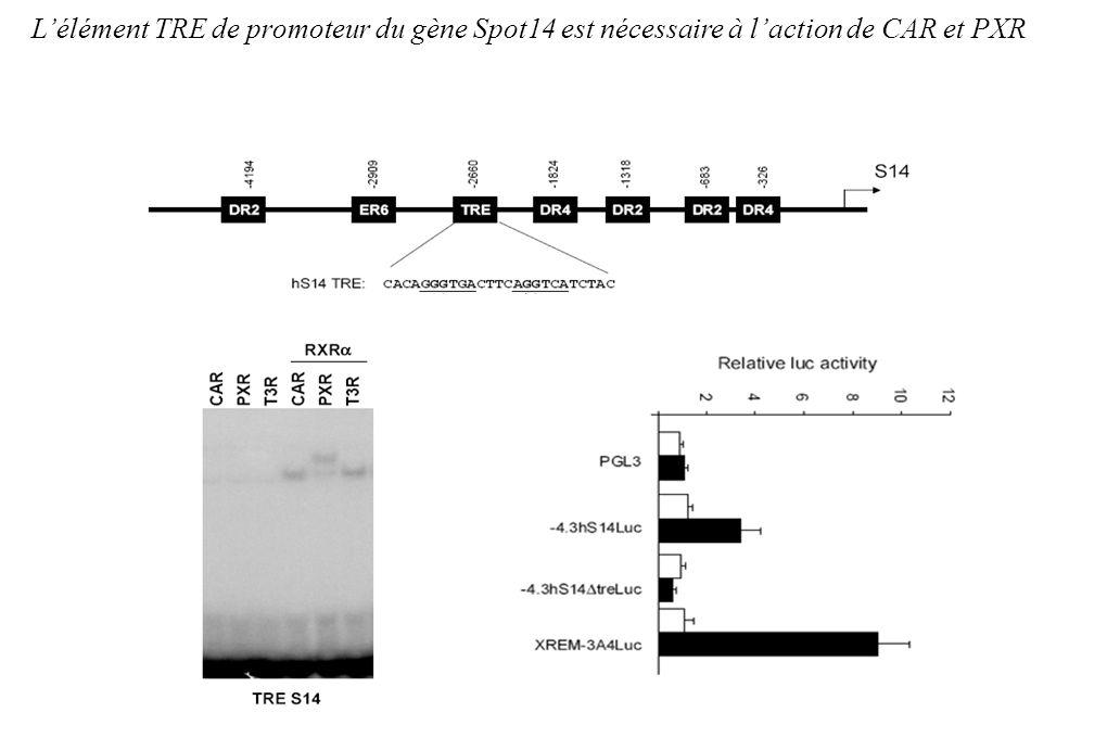 L'élément TRE de promoteur du gène Spot14 est nécessaire à l'action de CAR et PXR