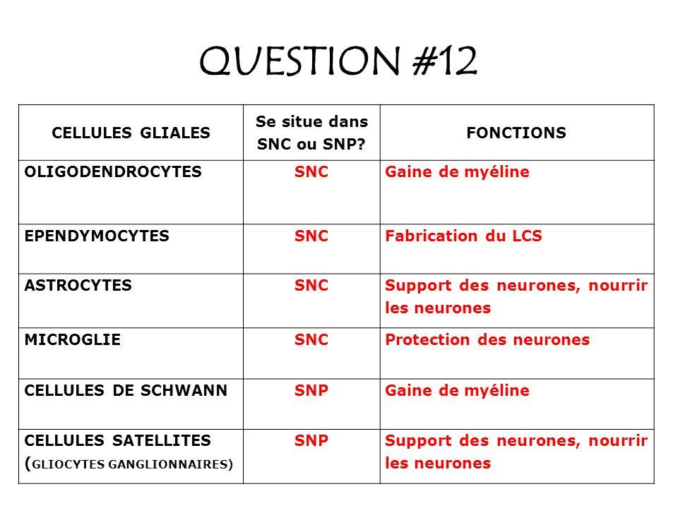 QUESTION #12 CELLULES GLIALES Se situe dans SNC ou SNP FONCTIONS