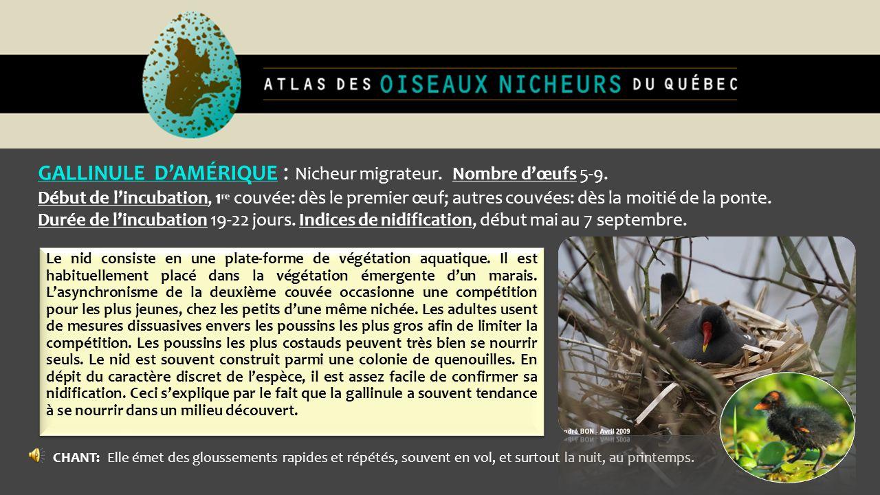 GALLINULE D'AMÉRIQUE : Nicheur migrateur. Nombre d'œufs 5-9.