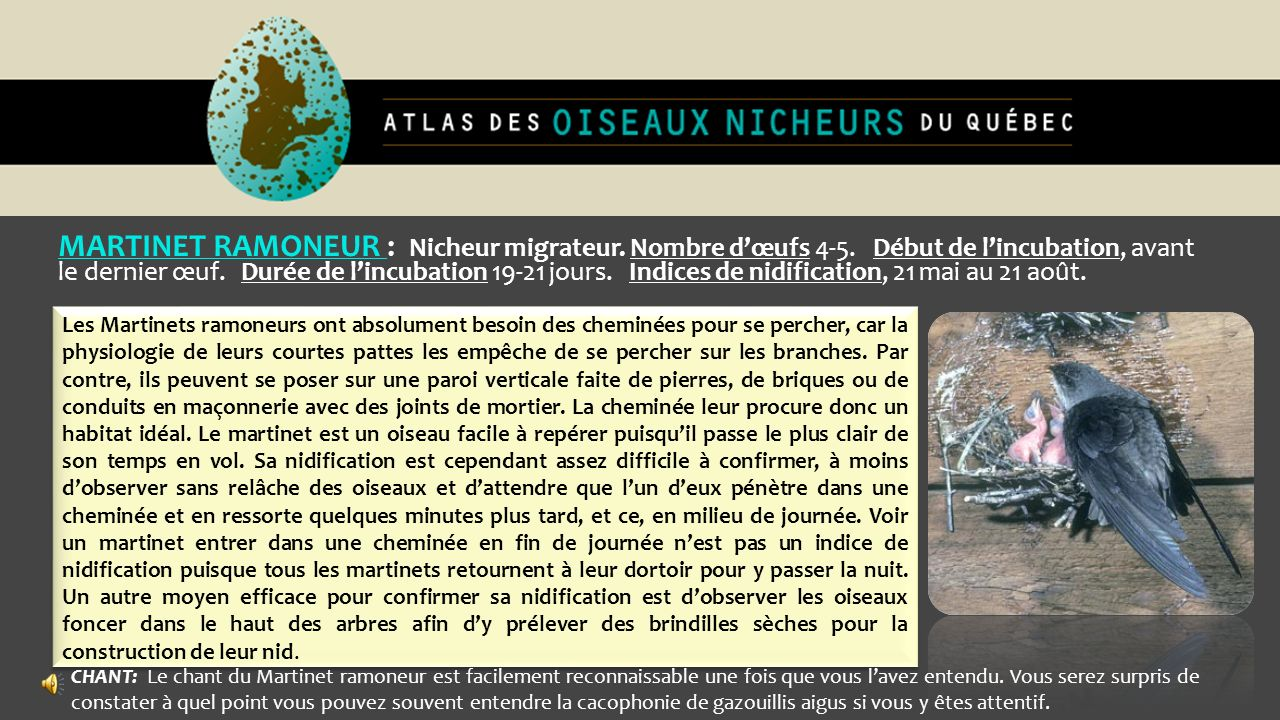 MARTINET RAMONEUR : Nicheur migrateur. Nombre d'œufs 4-5