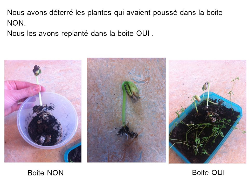 Nous avons déterré les plantes qui avaient poussé dans la boite NON.