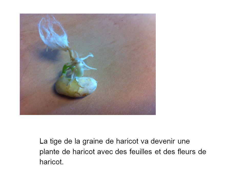 La tige de la graine de haricot va devenir une plante de haricot avec des feuilles et des fleurs de haricot.