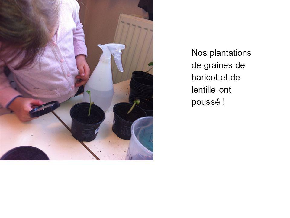 Nos plantations de graines de haricot et de lentille ont poussé !