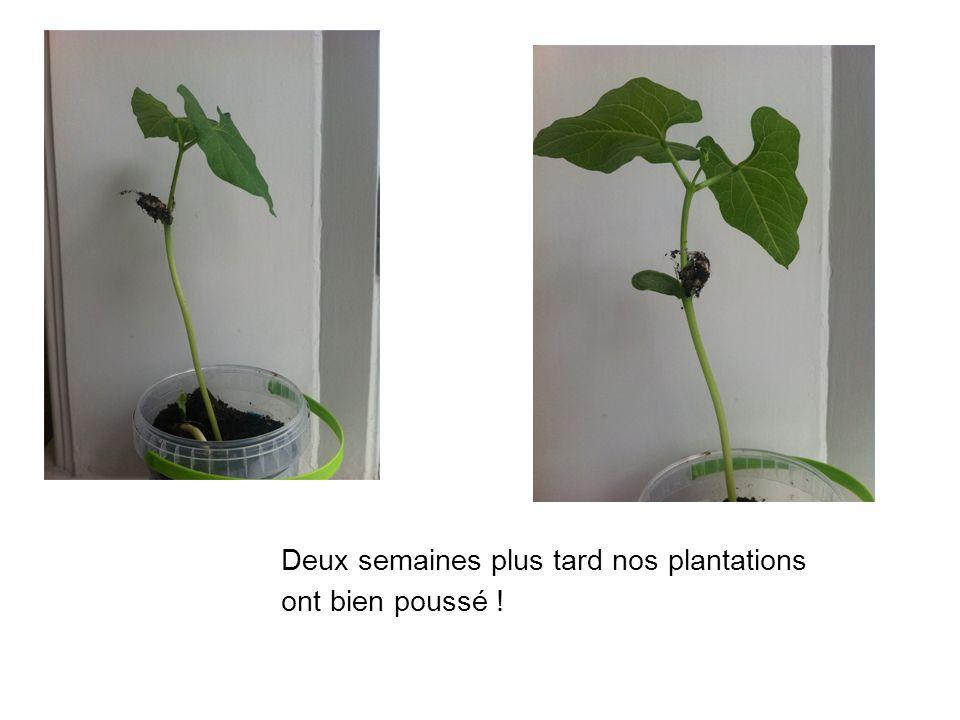 Deux semaines plus tard nos plantations ont bien poussé !