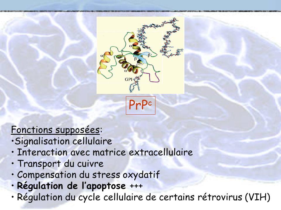 PrPc Fonctions supposées: Signalisation cellulaire