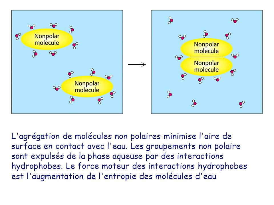 L agrégation de molécules non polaires minimise l aire de surface en contact avec l eau.