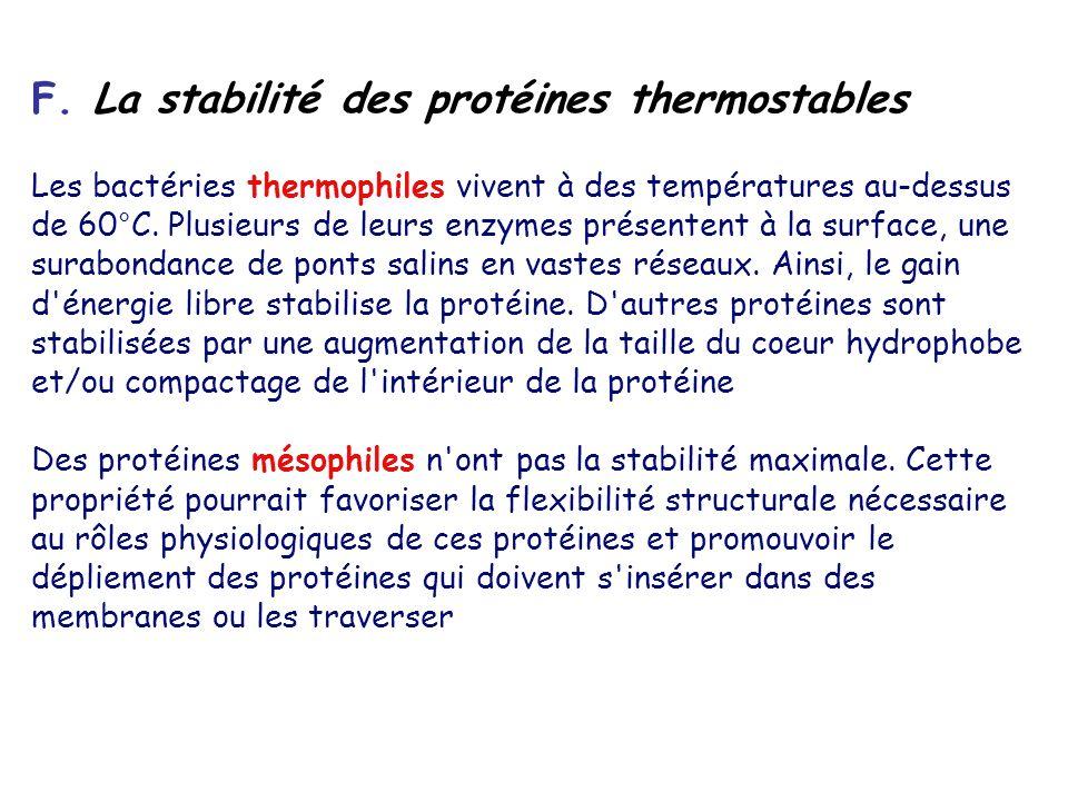F. La stabilité des protéines thermostables
