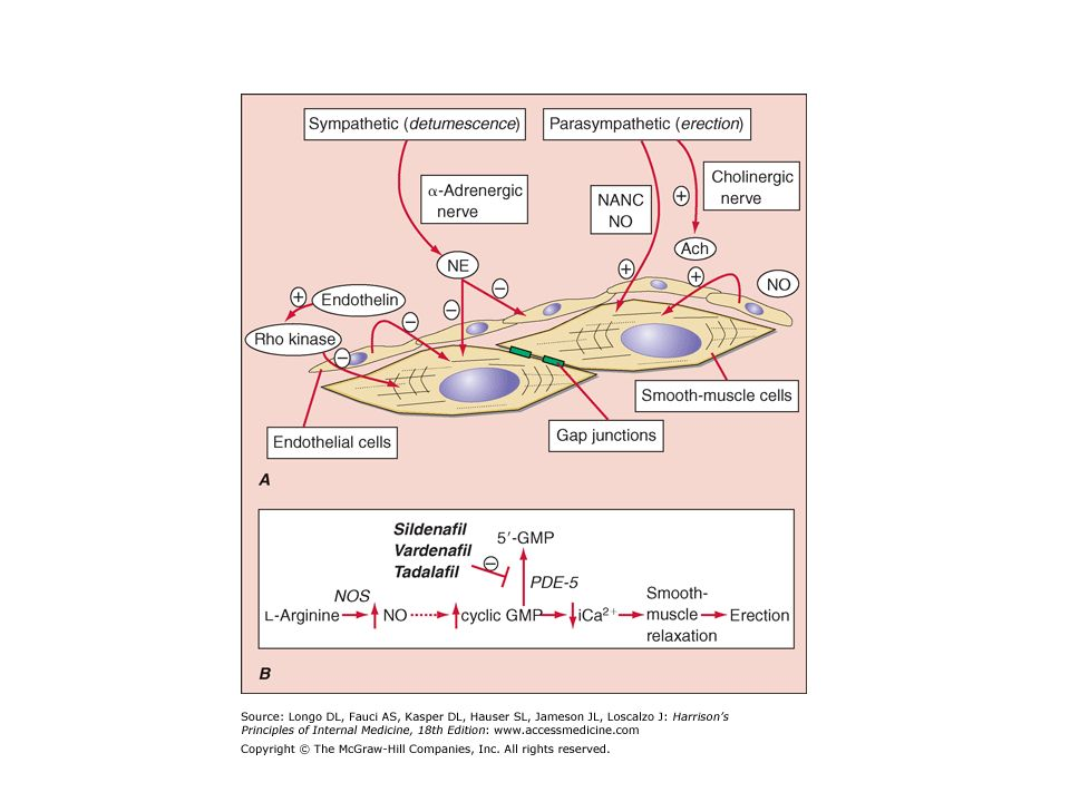Figure 48-1 Pathways that control erection and detumescence. A