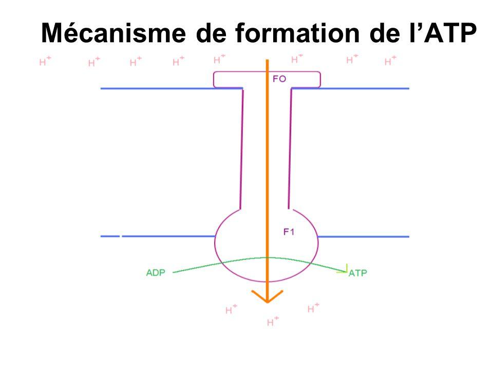 Mécanisme de formation de l'ATP