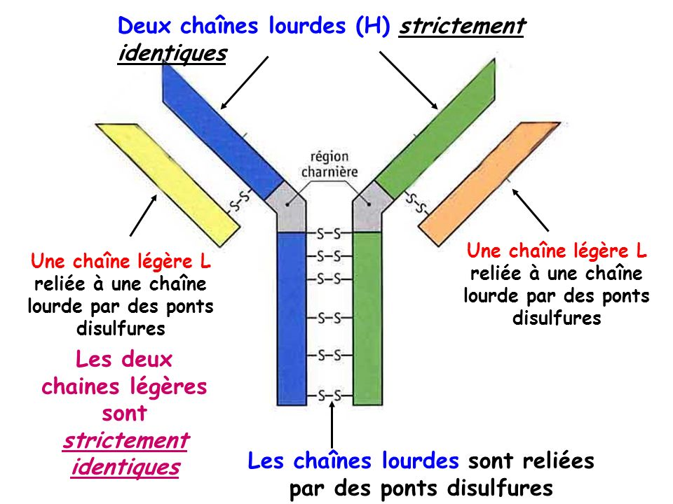 Deux chaînes lourdes (H) strictement identiques