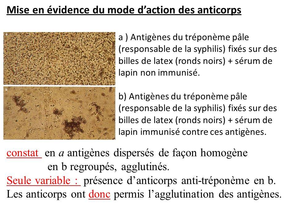 Mise en évidence du mode d'action des anticorps