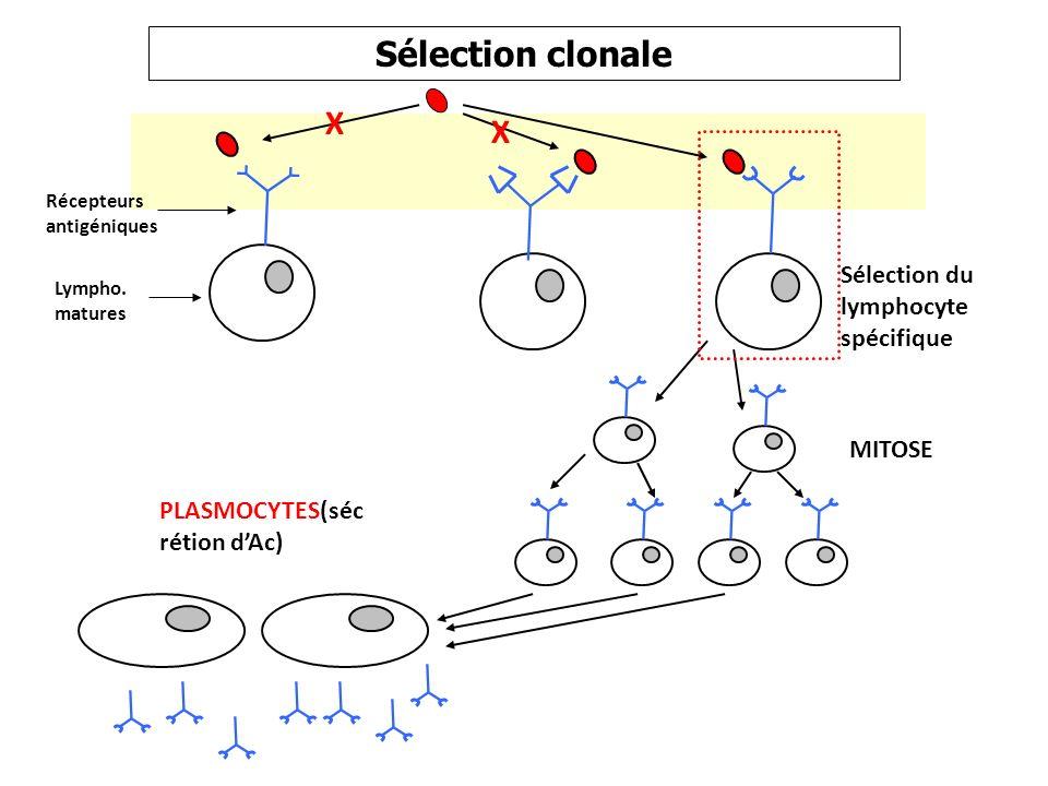 Sélection clonale X Sélection du lymphocyte spécifique MITOSE
