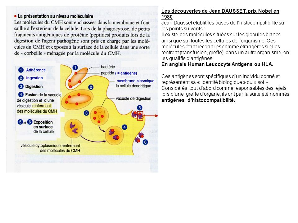 Les découvertes de Jean DAUSSET, prix Nobel en 1980