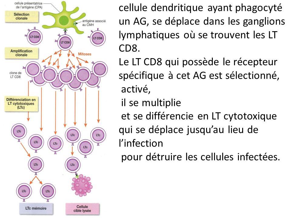 cellule dendritique ayant phagocyté un AG, se déplace dans les ganglions lymphatiques où se trouvent les LT CD8.