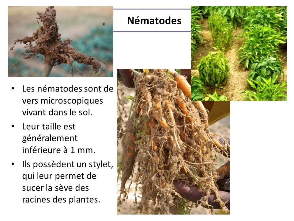 Nématodes Les nématodes sont de vers microscopiques vivant dans le sol. Leur taille est généralement inférieure à 1 mm.