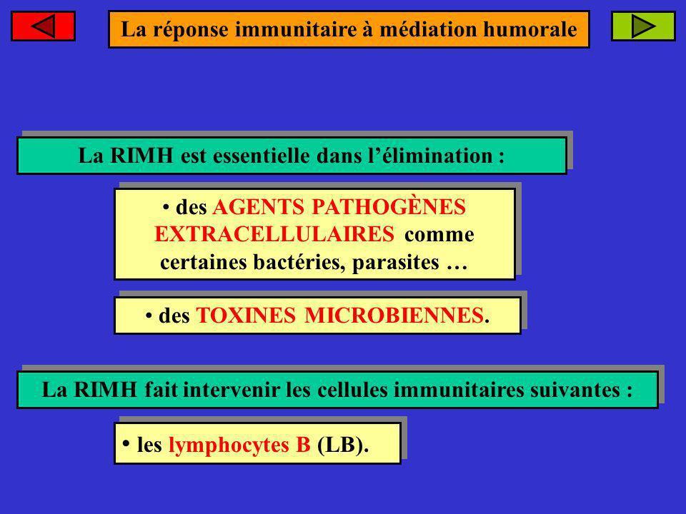 les lymphocytes B (LB). La réponse immunitaire à médiation humorale