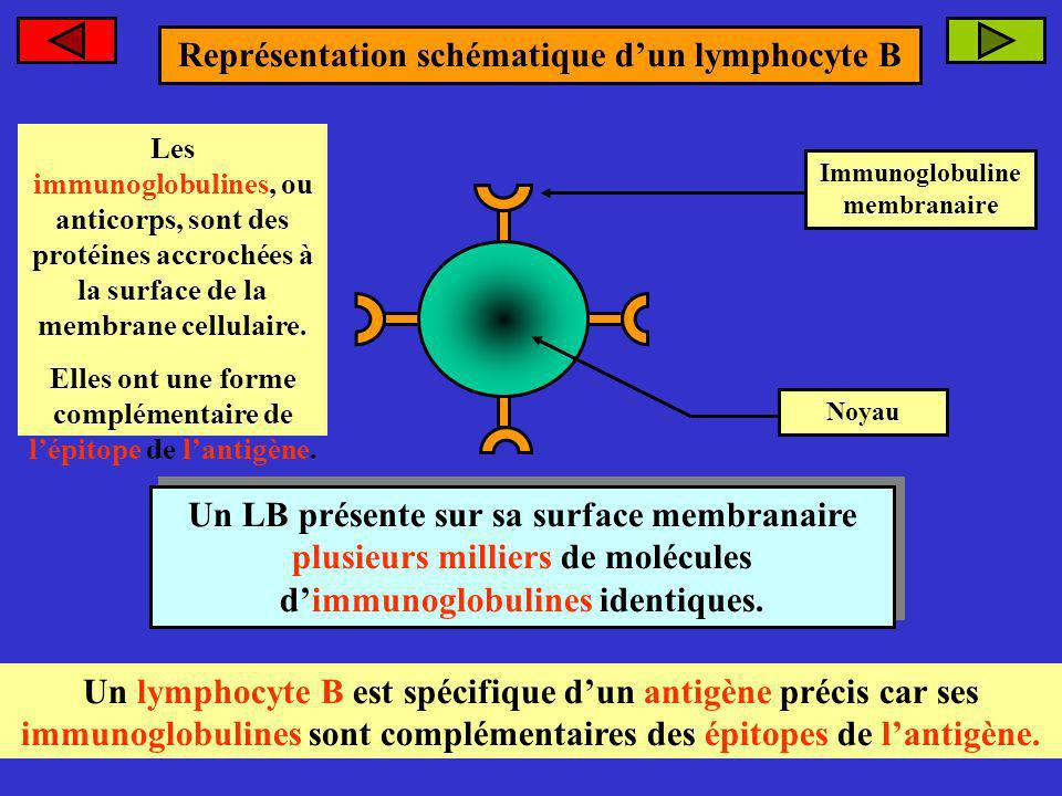 Représentation schématique d'un lymphocyte B