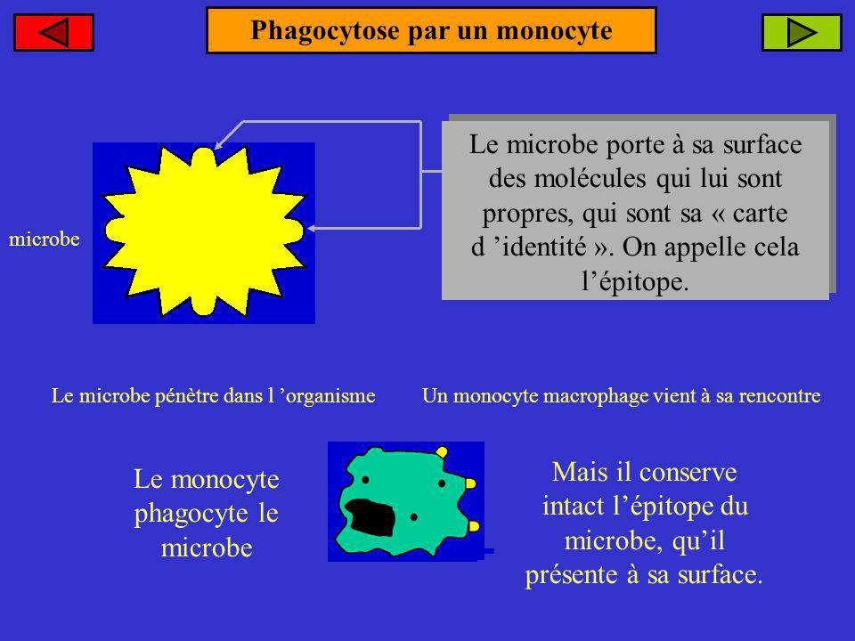 Phagocytose par un monocyte