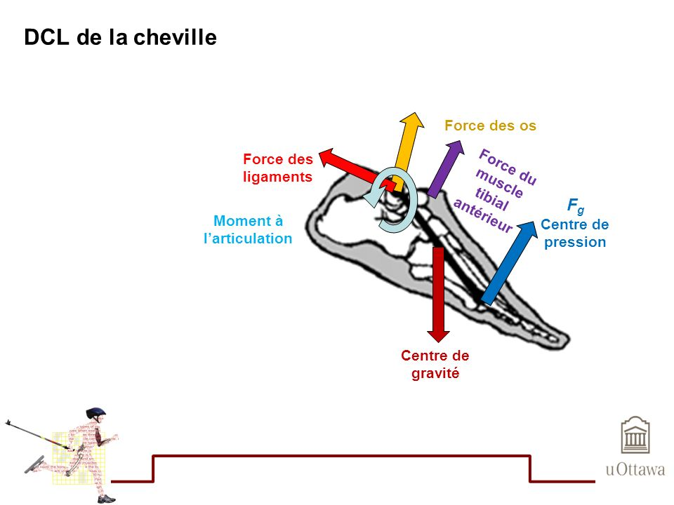 Force du muscle tibial antérieur Moment à l'articulation