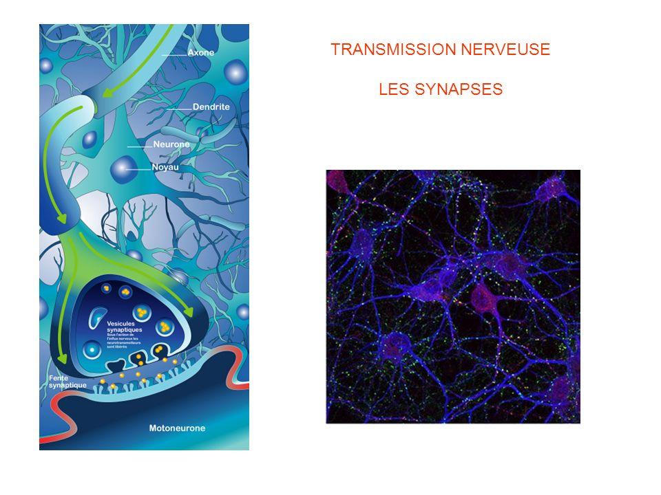 TRANSMISSION NERVEUSE