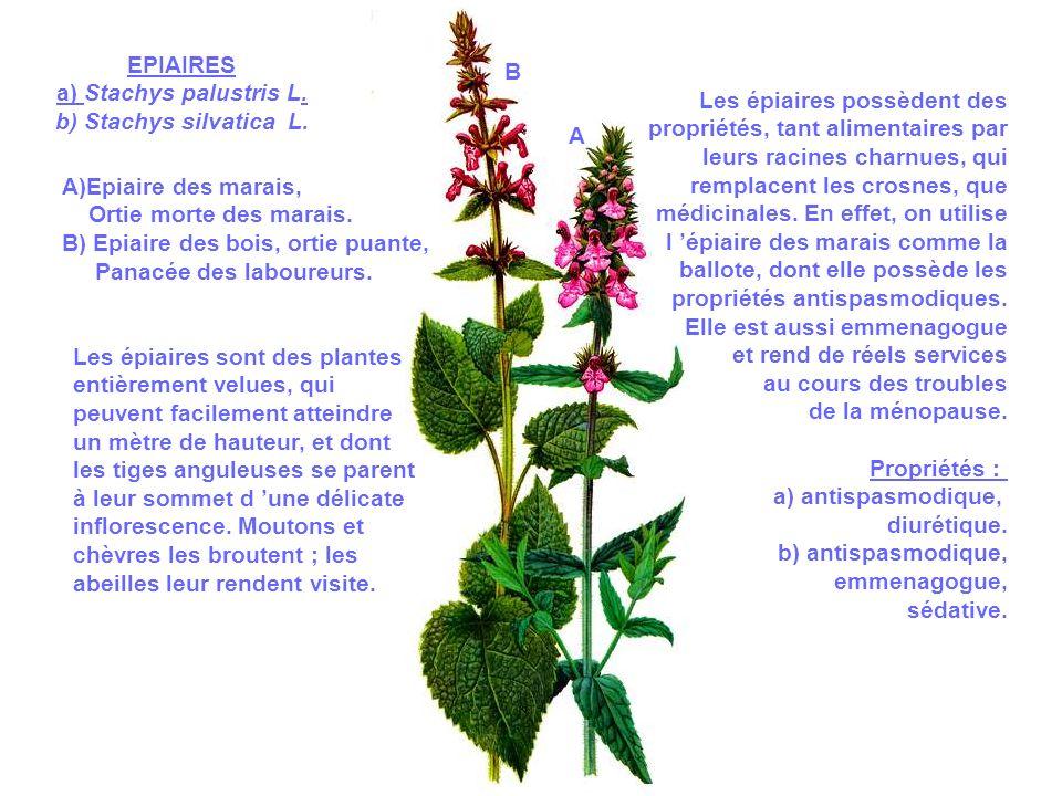 EPIAIRES a) Stachys palustris L. b) Stachys silvatica L. B. Les épiaires possèdent des. propriétés, tant alimentaires par.