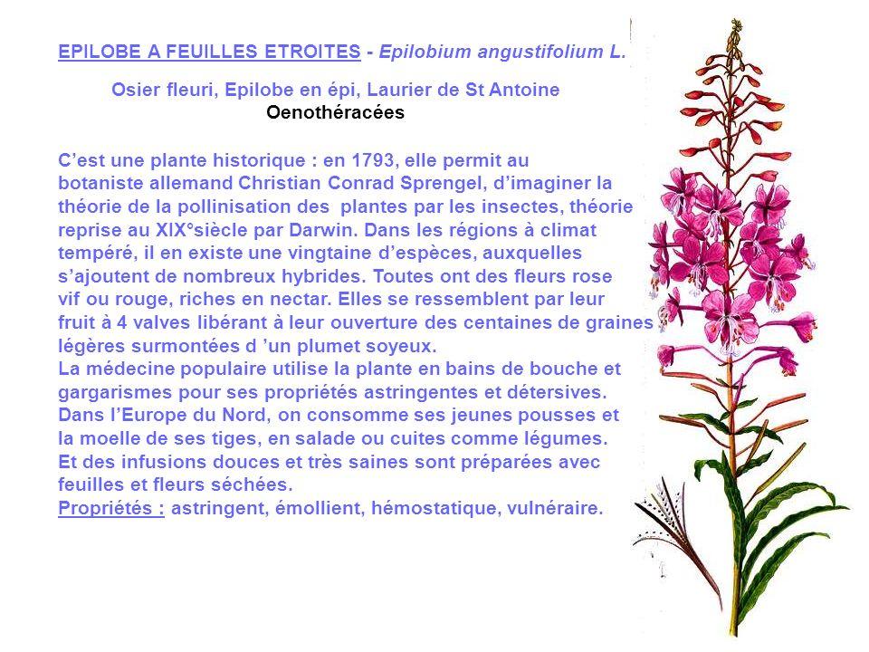 Osier fleuri, Epilobe en épi, Laurier de St Antoine