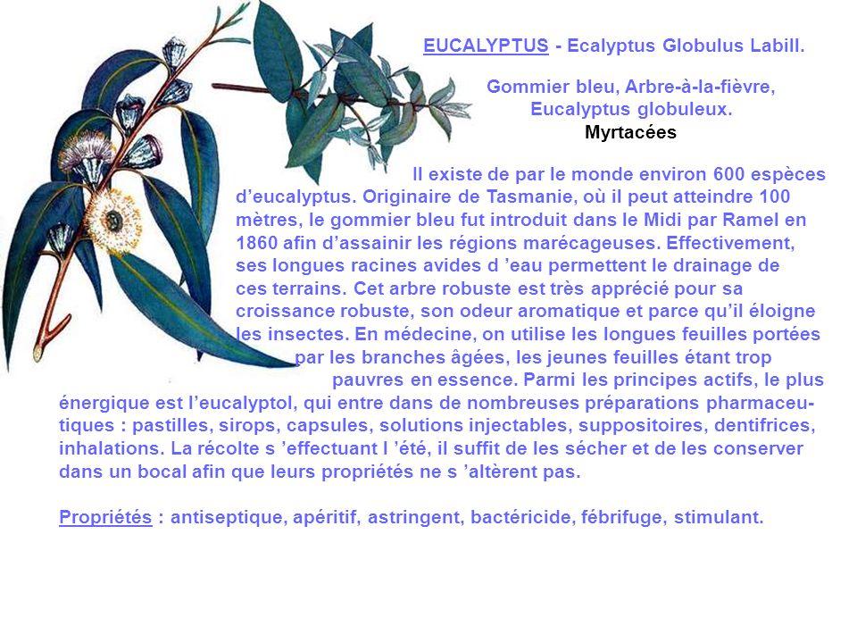 Gommier bleu, Arbre-à-la-fièvre,