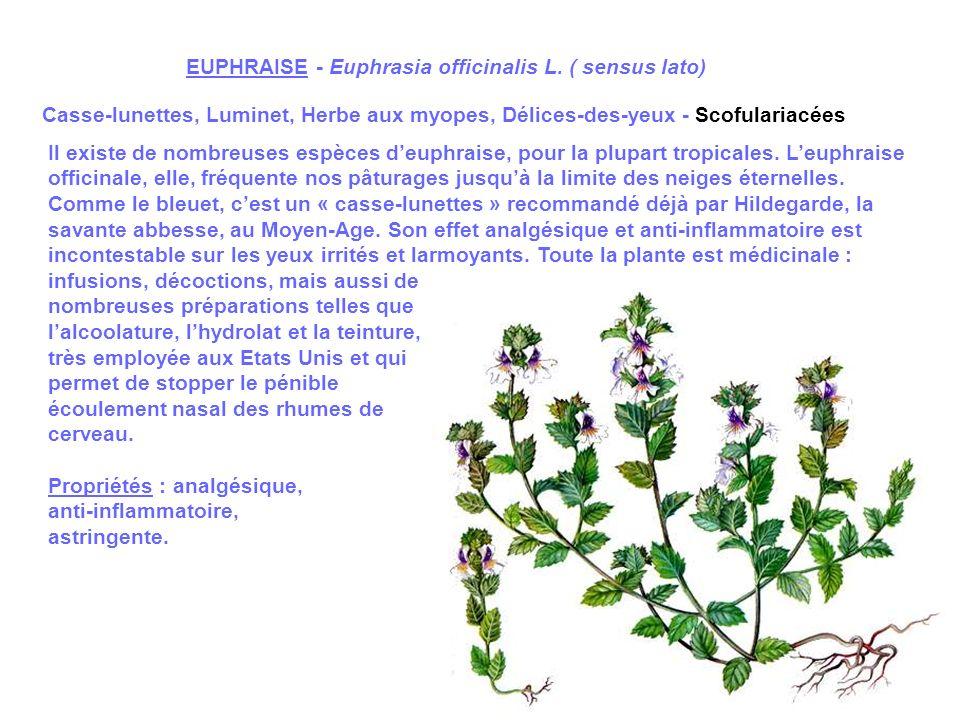 EUPHRAISE - Euphrasia officinalis L. ( sensus lato)