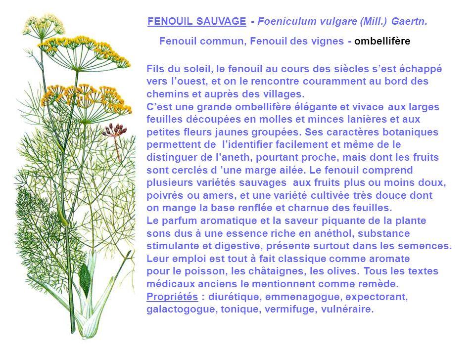 FENOUIL SAUVAGE - Foeniculum vulgare (Mill.) Gaertn.