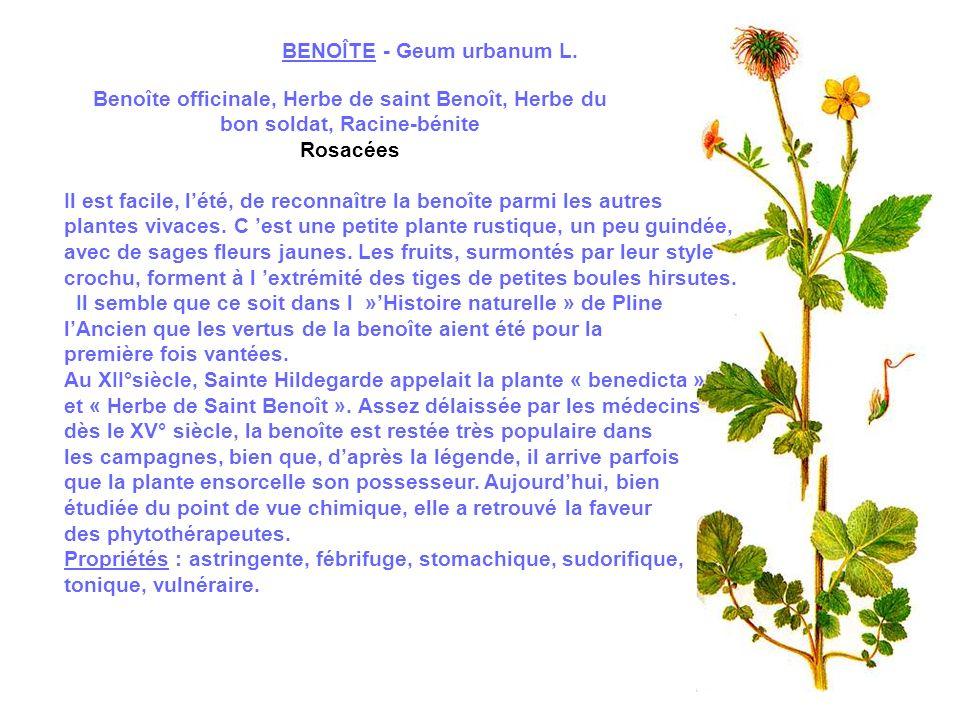 BENOÎTE - Geum urbanum L.