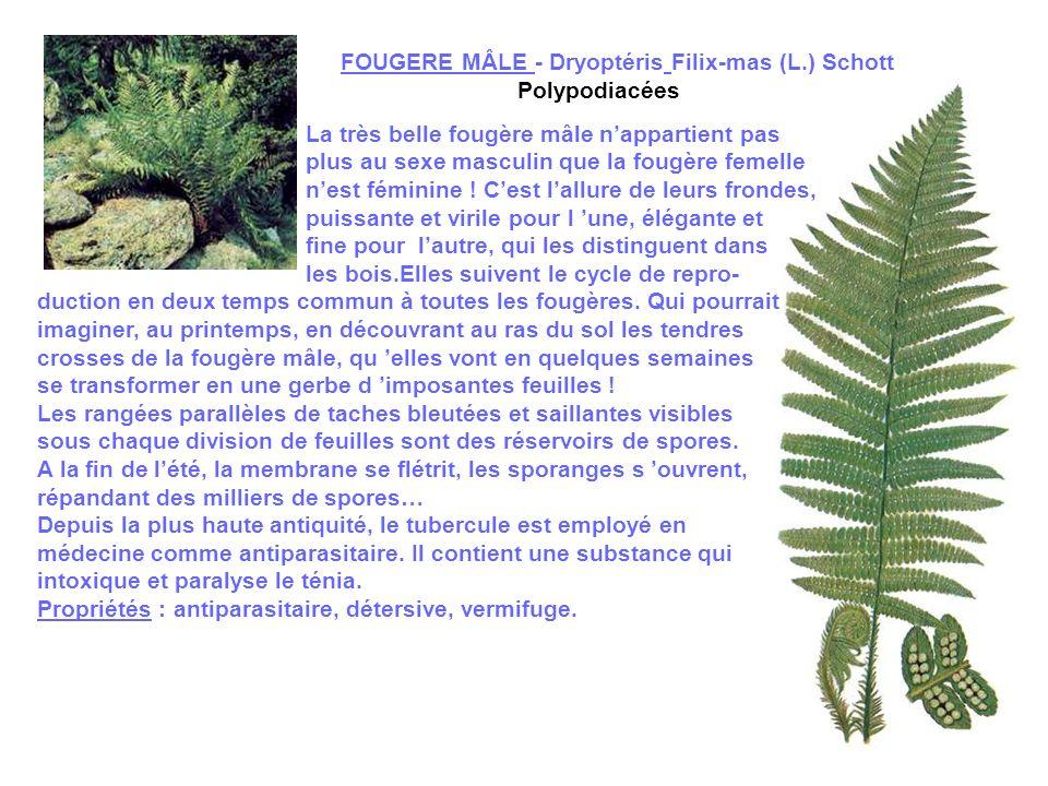 FOUGERE MÂLE - Dryoptéris Filix-mas (L.) Schott