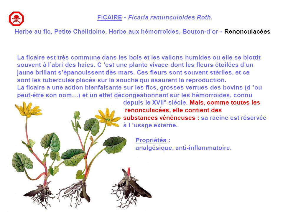 FICAIRE - Ficaria ramunculoides Roth.