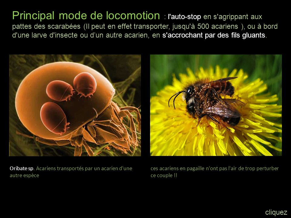 Principal mode de locomotion : l auto-stop en s agrippant aux pattes des scarabées (Il peut en effet transporter, jusqu à 500 acariens ), ou à bord d une larve d insecte ou d'un autre acarien, en s accrochant par des fils gluants.