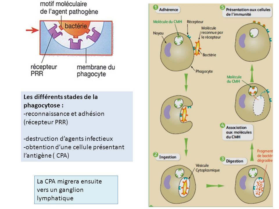 Les différents stades de la phagocytose :