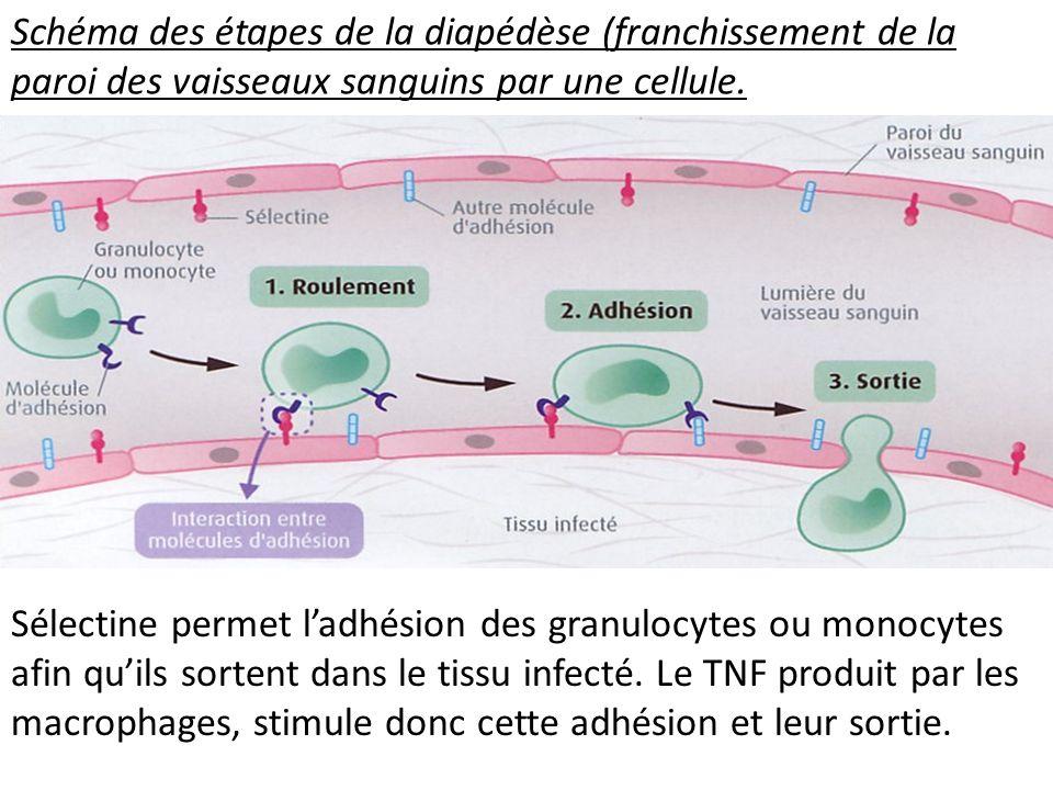 Schéma des étapes de la diapédèse (franchissement de la paroi des vaisseaux sanguins par une cellule.