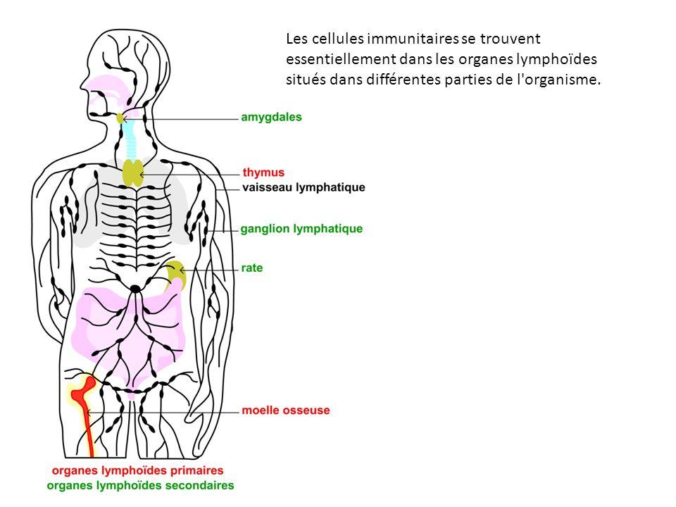 Les cellules immunitaires se trouvent essentiellement dans les organes lymphoïdes situés dans différentes parties de l organisme.