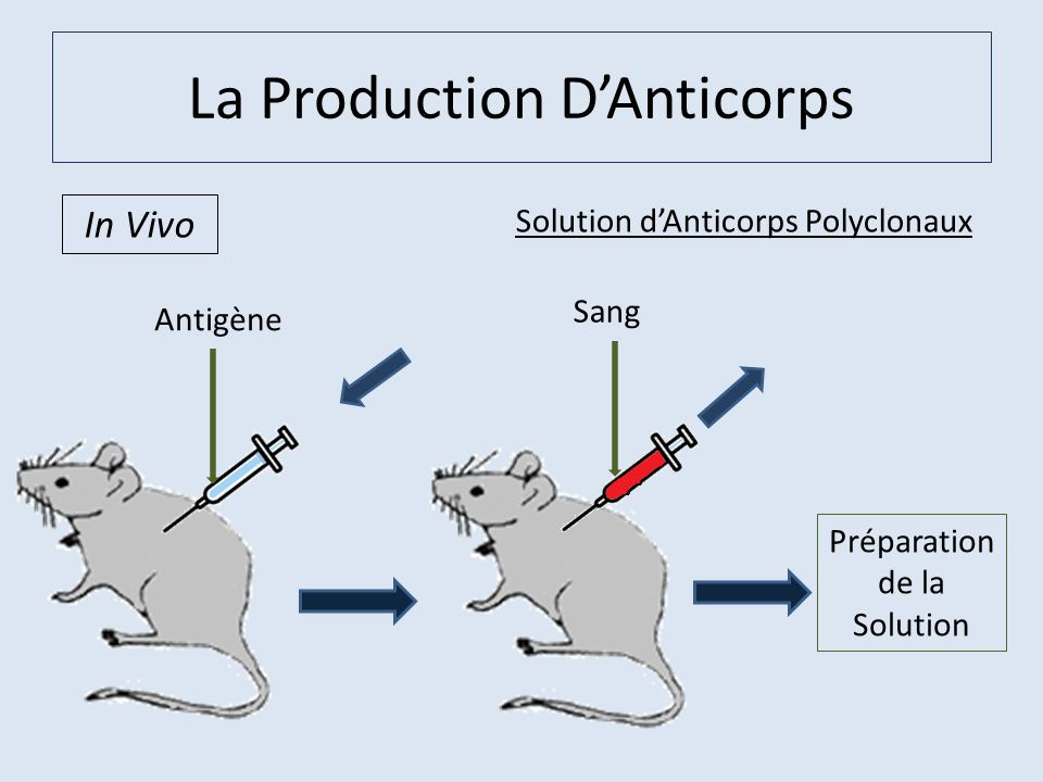 La Production D'Anticorps