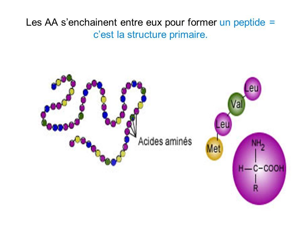 Les AA s'enchainent entre eux pour former un peptide = c'est la structure primaire.