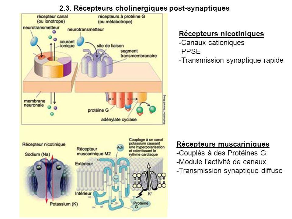 2.3. Récepteurs cholinergiques post-synaptiques