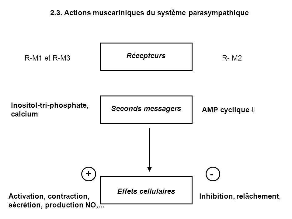 + - 2.3. Actions muscariniques du système parasympathique Récepteurs