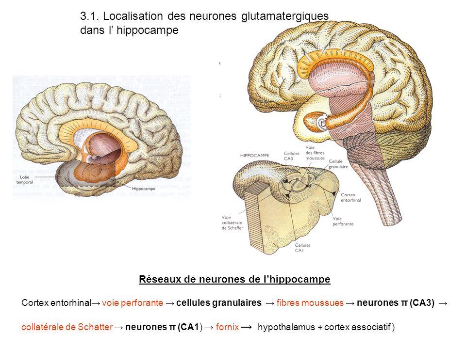 Réseaux de neurones de l'hippocampe