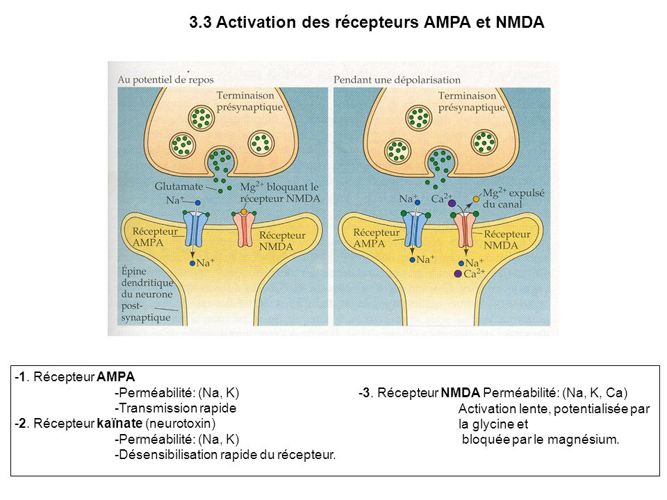 3.3 Activation des récepteurs AMPA et NMDA