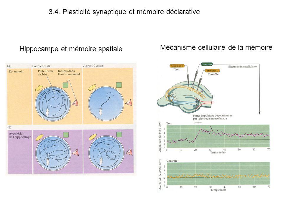 3.4. Plasticité synaptique et mémoire déclarative