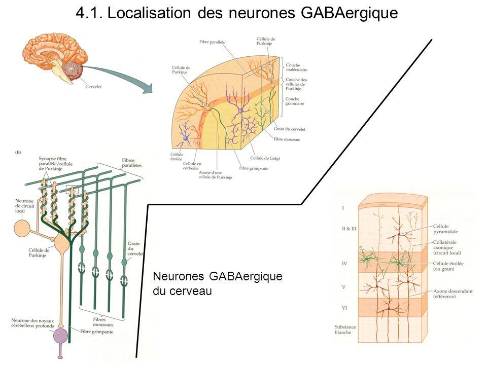 4.1. Localisation des neurones GABAergique