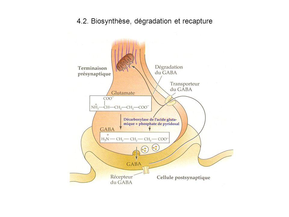 4.2. Biosynthèse, dégradation et recapture