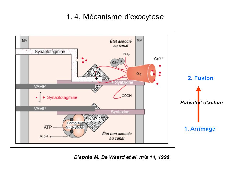 1. 4. Mécanisme d'exocytose