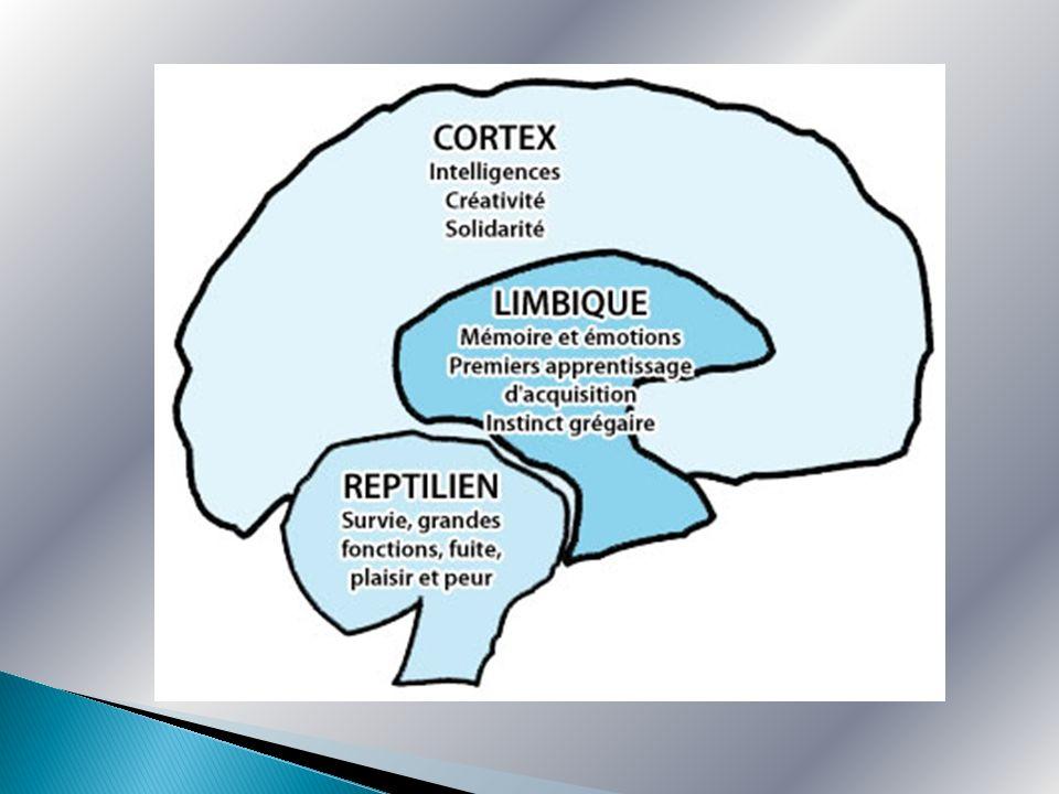 Le cerveau humain se compose de trois cerveaux