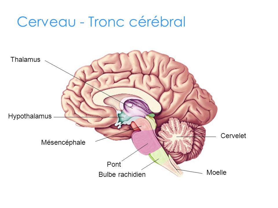 Cerveau - Tronc cérébral